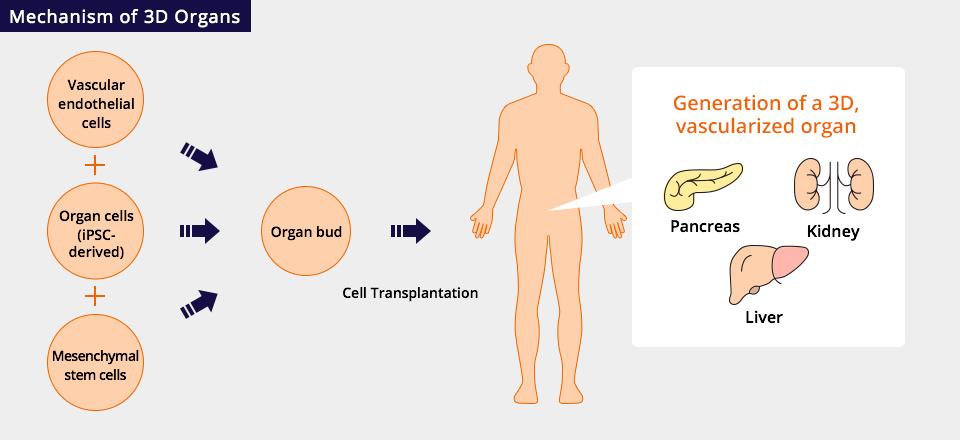 Mechanism of 3D Organs