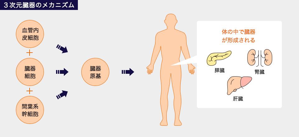 3次元臓器のメカニズム